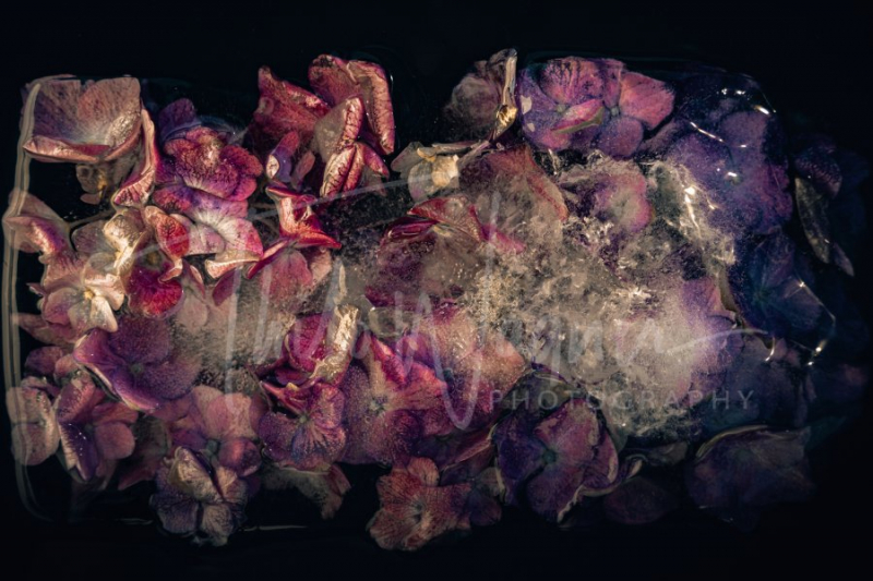 Frozen Flowers – Flowers In The Ice - Fotografie Thilo Wagner Bayern