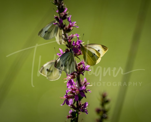 Beautiful nature close-up, summer flowers butterfly under sunlight - Fotografie Thilo Wagner Bayern