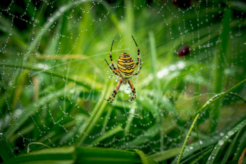 Wasp spider, Argiope, spider web covered by water droplets and morning dew - Fotografie Thilo Wagner Bayern